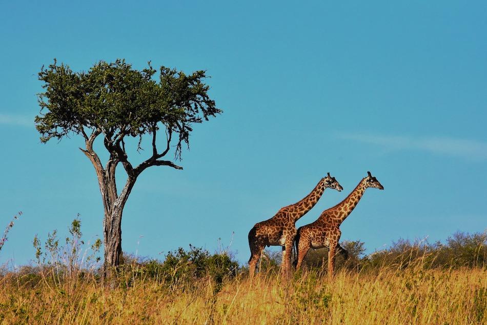 wildlife safaris Africa