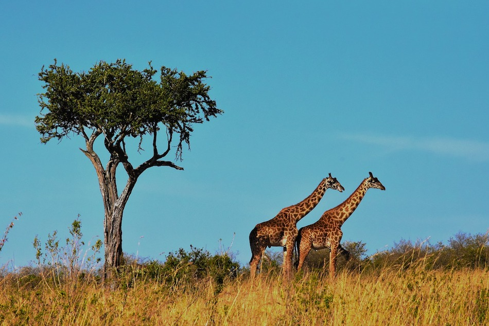 wildlife safaris Africa